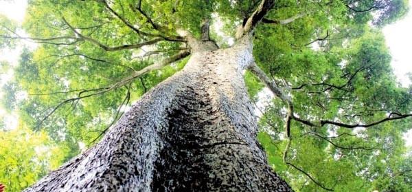 据中新网报道,重庆酉阳县获悉,当地两罾乡内口村发现一处数量在100株以上的金丝楠木群。这群罕见楠木高大挺拔,郁郁葱葱,其中最大的一株高50多米,树围需6人合抱,树龄超600岁。楠木,又名楠树、桢楠,是樟科楠属和润楠属各树种的统称,有香楠、金丝楠、水楠等种类,属大乔木,成熟时可高达30多米,其木材坚硬,极其珍贵,古时候用于造船和建造宫殿,现已被列入国家重点保护野生植物名录中,是我国二级保护植物。金丝楠是一些材质中有金丝和类似绸缎光泽现象的楠木(包括帧楠、紫楠、闽楠、润楠等)的泛称,而在古代和近代,金丝楠是紫